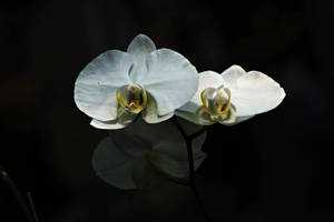 White Orchid flowers by a6-k