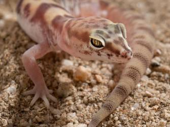 Western Banded Gecko II by jamezevanz