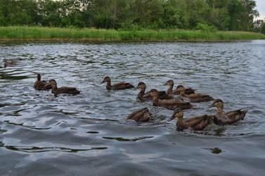Ducks by Rhumald