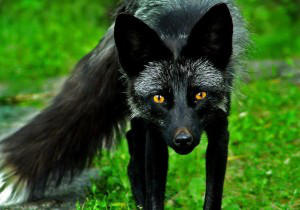 Black-Fox-Only's Profile Picture