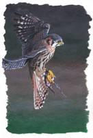 American kestrel painting by MeEmilee