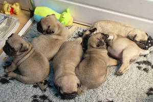 Lots of sleepy pugs by MagicMonkeyMarth