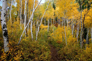 Fall Aspen Grove by CursiveQ-Designs