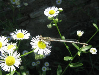 Dragonfly by mozilla-fan