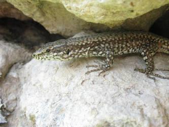 Lizard by mozilla-fan