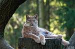 Lynx in tree by Daniel-Volpert