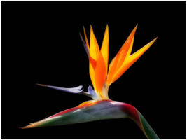 BIRD OF PARADISE by THOM-B-FOTO