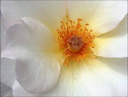 FULL BLOOM ROSE by THOM-B-FOTO