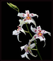 RED, WHITE AND YELLOW ORCHIDS by THOM-B-FOTO