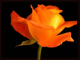 ORANGE ROSE 11 by THOM-B-FOTO