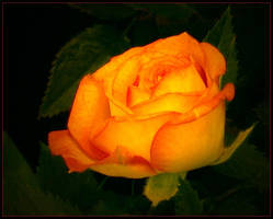 ORANGE ROSE 9 by THOM-B-FOTO