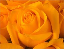 YELLOW ROSE 64 by THOM-B-FOTO