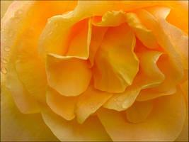 ORANGE ROSE 49 by THOM-B-FOTO