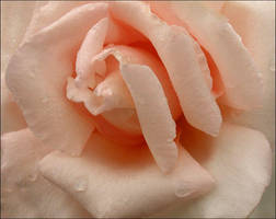 PINK ROSE 417 by THOM-B-FOTO