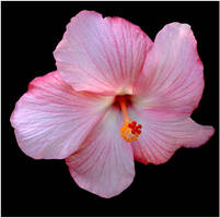 PINK HIBISCUS by THOM-B-FOTO