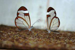 glasswing butterflies by wazat