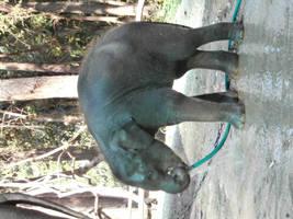 Domestic Elephant Stock #2 by DeepSeaBreakfast