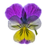Tricolour Pansy by houselightgallery
