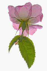 Dog Rose by houselightgallery