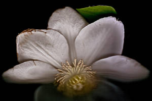 Clematis Flower on Black by houselightgallery
