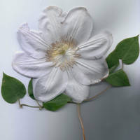 Clematis Flower on White by houselightgallery