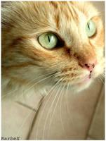 Beautiful cat by Barbudo