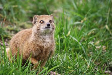 Red meerkat on alert by Sabbie89