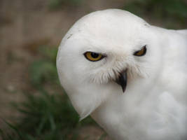 White Owl by crawlingsnow