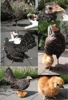 Chicken with baby chick by Myskullcabinet