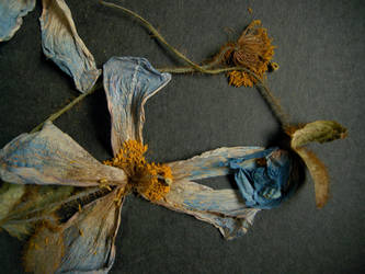 Meconopsis, September 2012 by Gairm