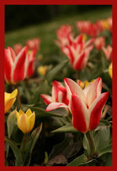 Tulips by Vilq