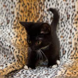 dwarf kitty by hoschie