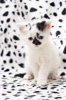 Dalmatiger by hoschie