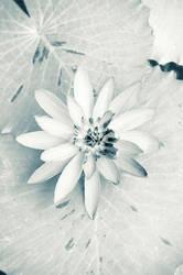 white lotus by dartz1
