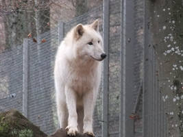 White wolf standing plus paws Stock by AngelSTOCK22