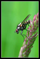 Red Eyed Fly II by ScarySquirrel