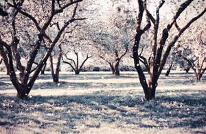 cherry blossom 2 by PhotoTori