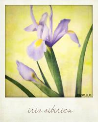 iris sibirica by MarkGalbreath