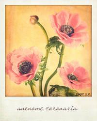 Anemone by MarkGalbreath