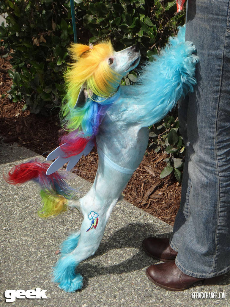 My Little Pony Rainbow Dash Dog By Nerdywolfandlpslover On Deviantart
