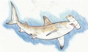 Galapagos Trip Sketches: Hammerhead Shark by DevinNath