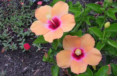 Dewy Peach Hibiscus by Myhrddin