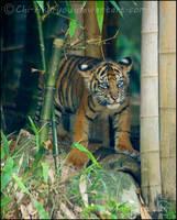 Tiger Cub II by Chi-Akuryou
