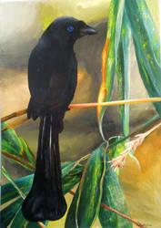 Racket-Tailed Treepie by Endivinity