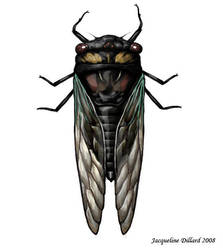 Cicadidae by JacquelineRae