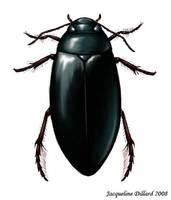 Dytiscidae by JacquelineRae