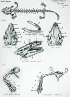 Necturus Skeletal Anatomy by JacquelineRae