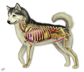 Dog Anatomy by JacquelineRae