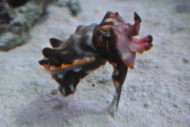 Flamboyant Cuttlefish by ChipmunkFan19