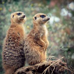 Meerkat Duo by ASHURII-sgtfunkytown